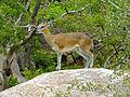 Klipspringer (Oreotragus oreotragus) (12716380763).jpg