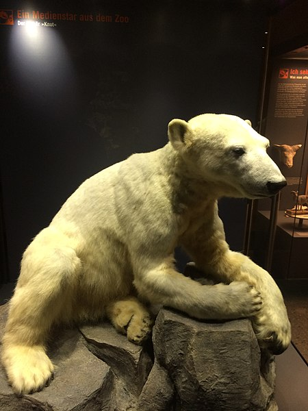 File:Knut Polarbear .jpg