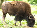 Knuthenborg Safaripark - bisonokse.jpg