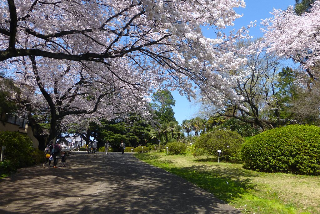 Koishikawa Botanical Gardens - sakura - march31-2015