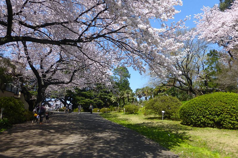 ファイル:Koishikawa Botanical Gardens - sakura - march31-2015.jpg