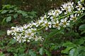 Korina 2011-05-14 Prunus serotina 4.jpg
