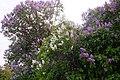 Korina 2017-05-07 Syringa vulgaris 5.jpg