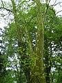 Kornik Arboretum platan klonolistny.jpg