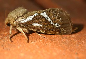 Common swift (moth) - Image: Korscheltellus lupulinus 01