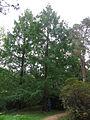 Kromlau Baum Größe.jpg