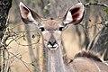 Kudu, Kruger National Park, South Africa (14791395627).jpg