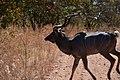 Kudu, Ruaha National Park (2) (28738262950).jpg