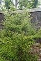 Kunzea robusta kz2.jpg