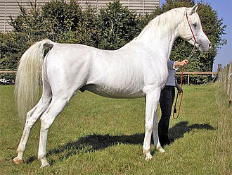 A horse with a white hair coat and dark skin showing around the nose, eyes and genitalia.