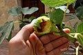 La breva o higo no es un fruto muy consumido por el ser humano, pero sí por los pajarillos, a los cuales les supone un delicioso y veraniego manjar - panoramio.jpg