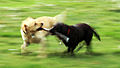 Labradors in motion. (3029685589).jpg