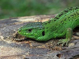 Sand lizard - Image: Lacerta agilis male 2011 G2