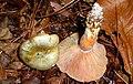 Lactarius pseudodeliciosus Beardslee & Burl 189691.jpg