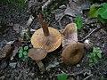 Lactarius subumbonatus 41576.jpg
