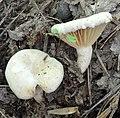 Lactarius sumstinei Peck 639468.jpg