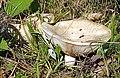 Lactarius vellereus LC0113-trimmed.jpg