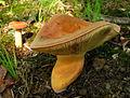 Lactarius volemus 90022.jpg