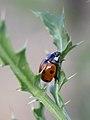 Ladybeetle 7pkt (8743366195).jpg