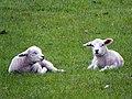 Lambs (33685339354).jpg