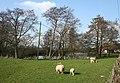 Lambs grazing by mere, at Baddiley Hall Farm - geograph.org.uk - 1233528.jpg