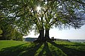 Landstetten, Drumlin-Buche HB-08.jpg