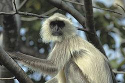Langur, Pench National Park.jpg