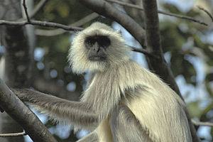 Colobinae - A langur in Pench National Park, India