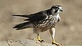 Lanner falcon, Falco biarmicus, at Kgalagadi Transfrontier Park, Northern Cape, South Africa (34447024641).jpg