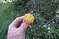 Lantana camara flowerhead DC3.jpg