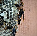 Large wasp nest (42952360832).jpg