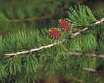 Larix occidentalis youngcones.jpg