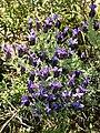 Lavandula stoechas (plant).jpg
