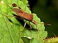 Leaf-footed Bug (31000230904).jpg