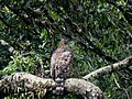 Legge's hawk-eagle IMG 6420.jpg