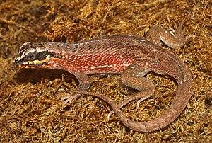 Iguania - Leiocephalus personatus, a species of iguanian