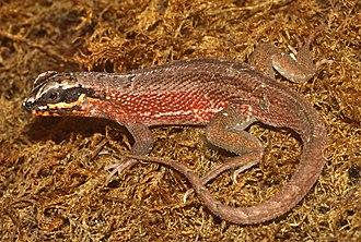 Iguanomorpha - Leiocephalus personatus, a species of iguanian