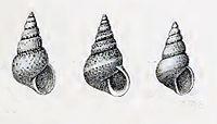Leiopyrga lineolaris 001.jpg