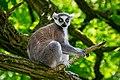 Lemur (35782763993).jpg