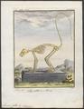 Lemur catta - skelet - 1782 - Print - Iconographia Zoologica - Special Collections University of Amsterdam - UBA01 IZ19700041.tif