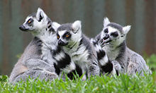 Three medium-sized, prosimian primates with long striped tails, long snout, and a raccoon-like face (Ring-tailed lemurs) sit huddled together in the grass