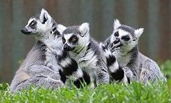 Lemur catta 01.jpg