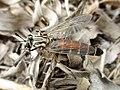 Leptomydas sardous (Mydidae) - (imago), Narbolia (comuni), Italy.jpg