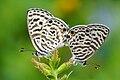 Leptotes plinius mating 20140921.jpg