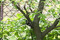 Lesser Spotted Woodpecker Lodz(Poland)(js)01.jpg