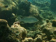 Orange-striped emperor (Lethrinus obsoletus)