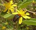 Leucocelis sp op Grewia flava, Zoutpan.jpg