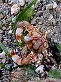 Leucosia anatum (Pebble crab).jpg
