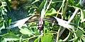 Libellula luctuosa male (563292981).jpg