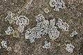 Lichen (27173210528).jpg